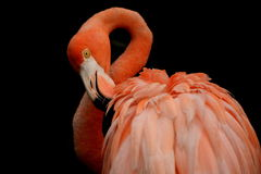 Flamingo. A red flamingo cleaning its feather Royalty Free Stock Images