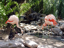 Flamingo. Two flamingos eating at a pond Stock Photos