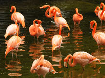 Free Flamingo Royalty Free Stock Image - 11453786