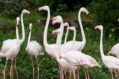 Flamingo. A group of flamingo in open zoo, Thailand Stock Photos