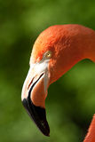 Flamingo. Portrait of a pink Stock Photography