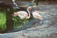flamingo imagens de stock royalty free