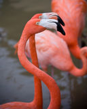 Flamingo. Close up of a flamingo bird in the water Royalty Free Stock Photography