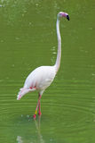 Flamingo. White flamingo in the water Stock Images