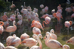 Flamingo Fotos de Stock