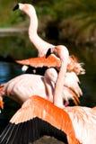 Flamingo. Closeup of pink flamingo in lake Stock Images