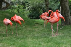 flamingo foto de stock royalty free
