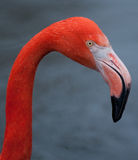 Flamingo Foto de Stock Royalty Free