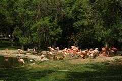 Flamingo. In Madrid zoo with green grass and trees stock photos