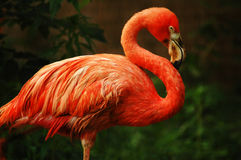 Free Flamingo Royalty Free Stock Photography - 139547