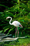 Flamingo. The Flamingo in the zoo royalty free stock photography