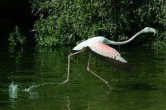 Flamingo. Running in the watter trying to fly Royalty Free Stock Photo