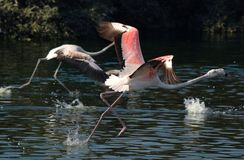 Flamingo. Running in the watter trying to fly Stock Photography