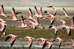 flamingo Royaltyfria Foton