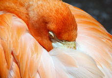 Flamingo. Picture of a colorful pink flamingo Stock Image