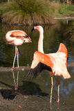 Flamingo. In the SF Zoo Stock Photography
