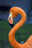 Flamingo. Head shot of Chilean Flamingo (phoenicopterus chilensis) looking at viewer Stock Images