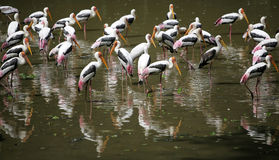 Flamingo. A flock of flamingoes reflected in a lake stock image