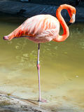 Flamingo Stockfotos