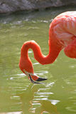 Flamingo. A pink flamingo in the water stock image