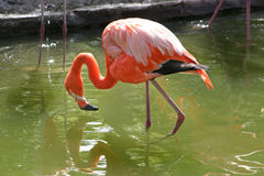 Flamingo. A pink flamingo in the water royalty free stock image