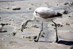 Flamingo. Gray flamingo on the salt lake near Uyuni in Bolivia Stock Photos