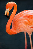 Flamingo. One flamingo is standing out of its fleet Stock Photography
