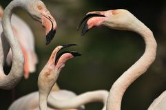 Flamingo. Group of Flamingos. close up Stock Image