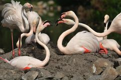 Flamingo. Group of Flamingos in zoo Royalty Free Stock Images