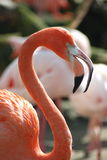 A flamingo Stock Images
