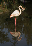 Flamingo. A flamingo and its reflection  in water Royalty Free Stock Photos
