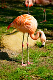 Flamingo. Pink flamingo looking for food Stock Photos