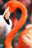 flamingo royaltyfri foto