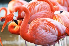 Flamingo Royalty Free Stock Image
