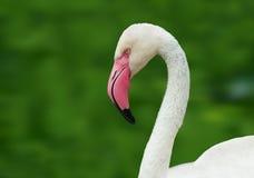 Flamingo-2 Stock Photo