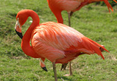 Flamingo 2 Stock Images