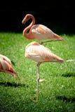 Flamingo. Some flamingo birds resting in the sun Stock Photos