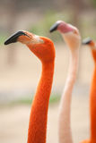 Flamingo. Some beautiful flamingos in zoo royalty free stock image