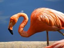 Flamingo [2] Royalty-vrije Stock Afbeelding