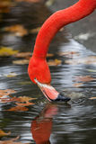 Flamingo. In the zoo of antwerp Royalty Free Stock Images
