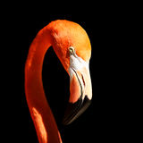 flamingo Royaltyfria Bilder