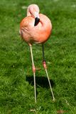 Flamingo Stock Image