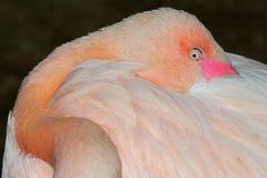 flamingo Royaltyfri Fotografi