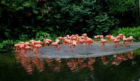 Flamingo stockbild