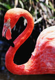 Flamingo Stockbilder
