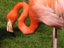 Flamingo. Nice pose Pink Flamingo in pond Stock Photos