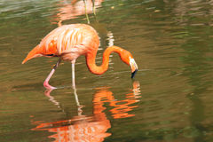 Flamingo Stock Images