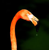Flamingo Foto de Stock