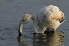 Flamingo Stockfotos