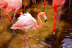 A Flamingo Royalty Free Stock Image